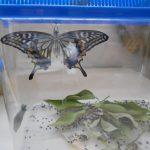 こんなにきれいなアゲハ蝶になったよ(*^-^*)